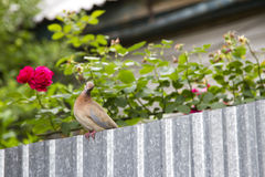 Turtledove Royalty Free Stock Images