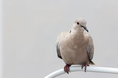 Turtledove. A turtledove gray resting and watching with curiosity Royalty Free Stock Photos