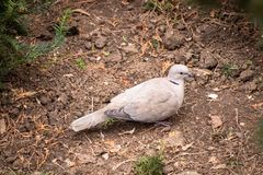 Turtledove on a ground royalty free stock photography