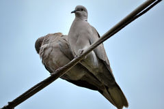 Turtledove heart Stock Images