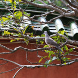 Turtledove. Living freely in the nanputuo temple Royalty Free Stock Photos