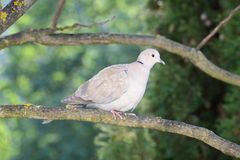 Turtledove looks surprised at the photographer Royalty Free Stock Photo