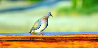 Turtledove marsa alam Royalty Free Stock Photos