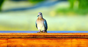 Turtledove marsa alam Royalty Free Stock Photo