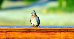 Turtledove marsa alam. Egypt africa Royalty Free Stock Photo