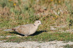 Turtledove in a meadow. Beautiful turtledove in a meadow from the north of Portugal Royalty Free Stock Image