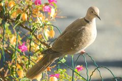 Turtledove near flowers. A turtledove near the flowers Stock Images