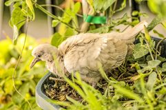 Baby turtledove. Turtledove nesting in a balcony during summer at Spain, Europe Royalty Free Stock Photography