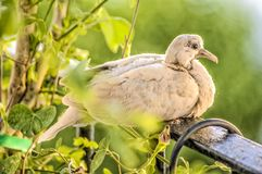 Baby turtledove. Turtledove nesting in a balcony during summer at Spain, Europe Royalty Free Stock Image