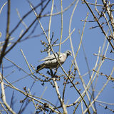 Turtledove. Photo of Single Turtledove at Tree Royalty Free Stock Images