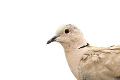 Turtledove portrait over white Royalty Free Stock Image