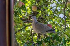 Turtledove ring necked. Apple tree Stock Photography