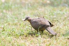 Turtledove on grassland. The turtledove is seeking for food Stock Images