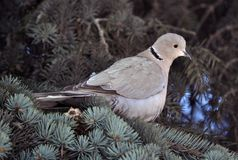 The turtledove sits on the branch of the spruce. The  turtledove of the garden sits on the branch of the fir tree Stock Photography