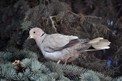 The turtledove sits on the branch of the spruce. The  turtledove of the garden sits on the branch of the fir tree Royalty Free Stock Images