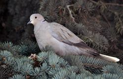The turtledove sits on the branch of the spruce. The  turtledove of the garden sits on the branch of the fir tree Royalty Free Stock Photo