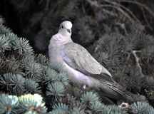 The turtledove sits on the branch of the spruce. The  turtledove of the garden sits on the branch of the fir tree Stock Photos