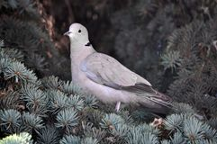 The turtledove sits on the branch of the spruce. The  turtledove of the garden sits on the branch of the fir tree Royalty Free Stock Image