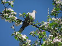 Turtledove. A turtledove sitting on a blooming apple tree Royalty Free Stock Photo
