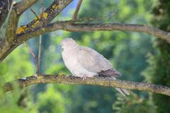 Turtledove slumbers after the preening Royalty Free Stock Images