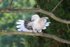 Turtledove spreading its wings and tail Royalty Free Stock Images