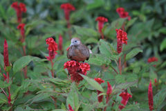 Turtledove stands on red flower. Or nature background Royalty Free Stock Photos