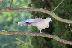 Turtledove stretches after the preening Stock Photos