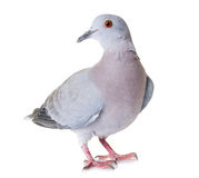 Turtledove in studio. Gray turtledove in front of white background Royalty Free Stock Photography