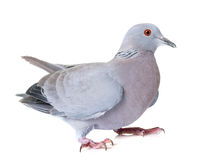 Turtledove in studio. Gray turtledove in front of white background Royalty Free Stock Photos