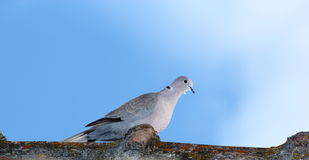 Turtledove in top of the roof Royalty Free Stock Photography