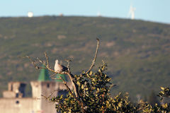 Turtledove. A turtledove in a tree with the Castle of Porto de Mós (leiria - Portugal) in background Royalty Free Stock Photos