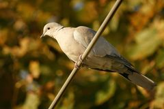 Turtledove in the tree. Female turtledove perched in a european tree Royalty Free Stock Photos