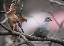 Turtledove on a tree shivering in cold. Turtledove on a tree shivering Stock Image