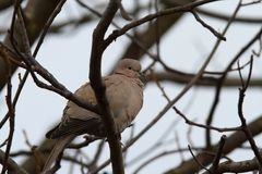 Turtledove in the tree in winter Royalty Free Stock Photography