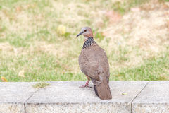 Turtledove. This is typical kind of turtledove we can see Royalty Free Stock Photography