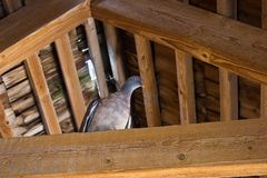 Turtledove under the roof. One turtledove on a wooden beam under the roof Stock Photography