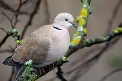Turtledove. Wild turtledove perched on a tree branch Stock Photography