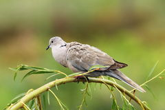 Turtledove on willow. Turtledove perched on willow branch over green out of focus background ( Streptopelia decaocto Stock Image