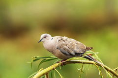Turtledove on willow tree. Turtledove standing on willow tree over beautiful green out of focus background ( Streptopelia decaocto Stock Photos