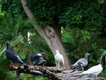 Turtledoves. Pigeons / Doves Relaxing on Branches Royalty Free Stock Photography