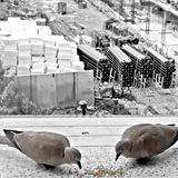 Turtledoves above the construction site royalty free stock images