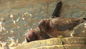 Turtledoves. Beautiful  turtledoves on the wall stock video footage