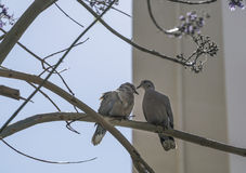 Turtledoves on branch of tree Stock Photo