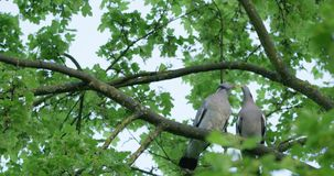 Turtledoves kissing on the tree. Branch on a beautiful spring day in park. Red camera Helium 8K shot downscaled to 4K stock video