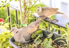 Turtledoves royalty free stock photo