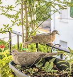 Turtledoves royalty free stock photography