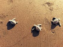 Turtlerun Foto de Stock Royalty Free
