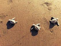 Turtlerun. Turtle, sea, survivers, help, rescue, animals, sand, sea Royalty Free Stock Photo