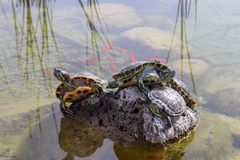 Turtles emerging on the rock in water. Turtles are diapsids of the order Testudines or Chelonii characterized by a special bony or cartilaginous shell royalty free stock photo