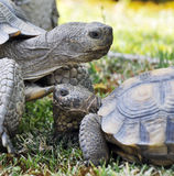 Turtles. A mother and baby turtle together on the grass Stock Photo